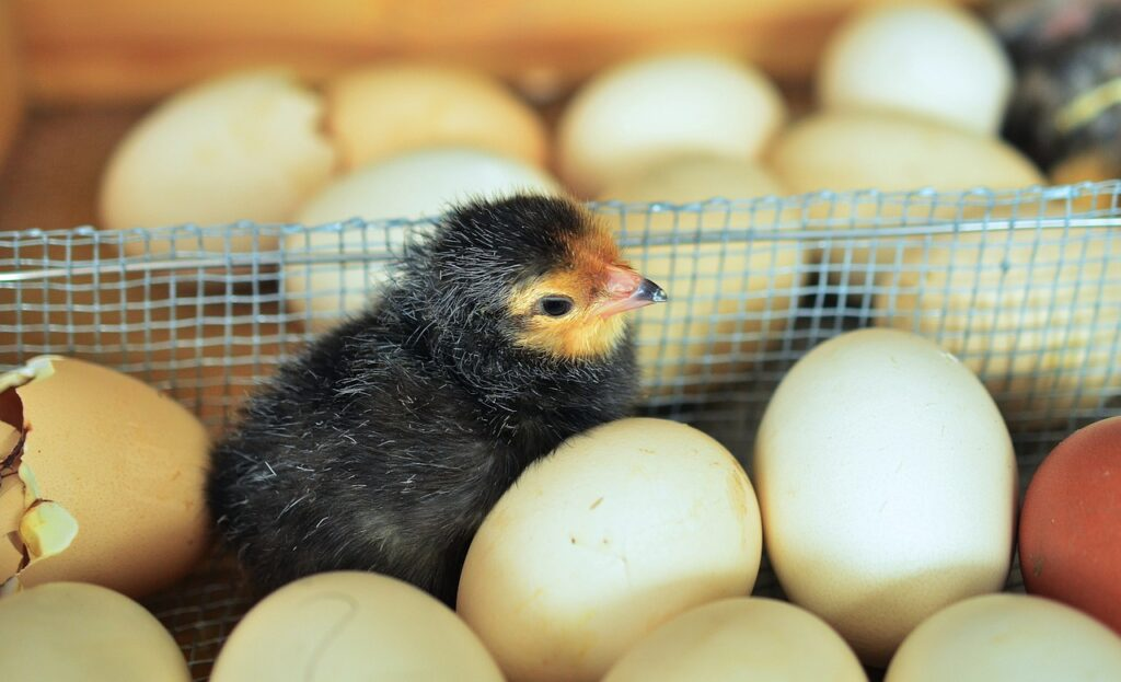 chicks, egg, hatched