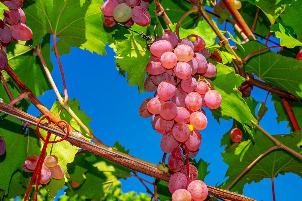 grapes, core-less precious table grapes, fruit